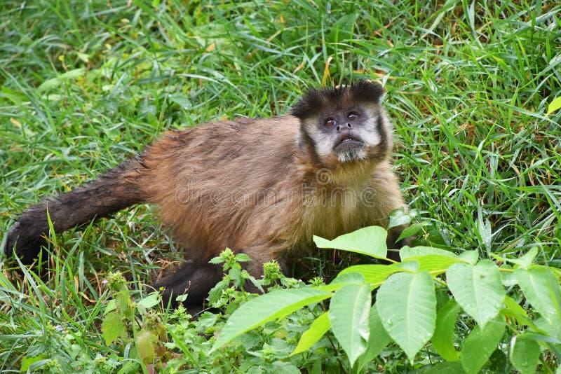 布朗簇生了连斗帽女大衣在绿草的猴子男性 图库摄影