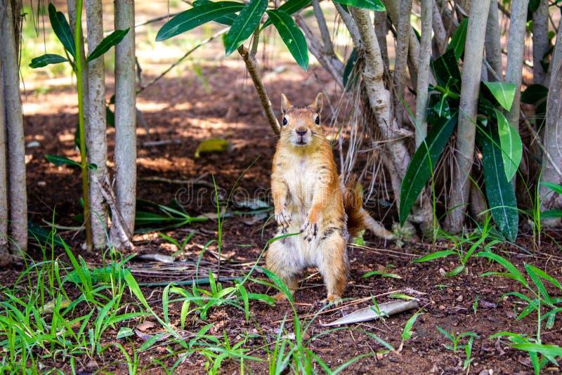 布朗红色灰鼠在绿叶丛林站立在地面上的 ?? 在异乎寻常的树丛林的逗人喜爱的灰鼠  免版税库存照片