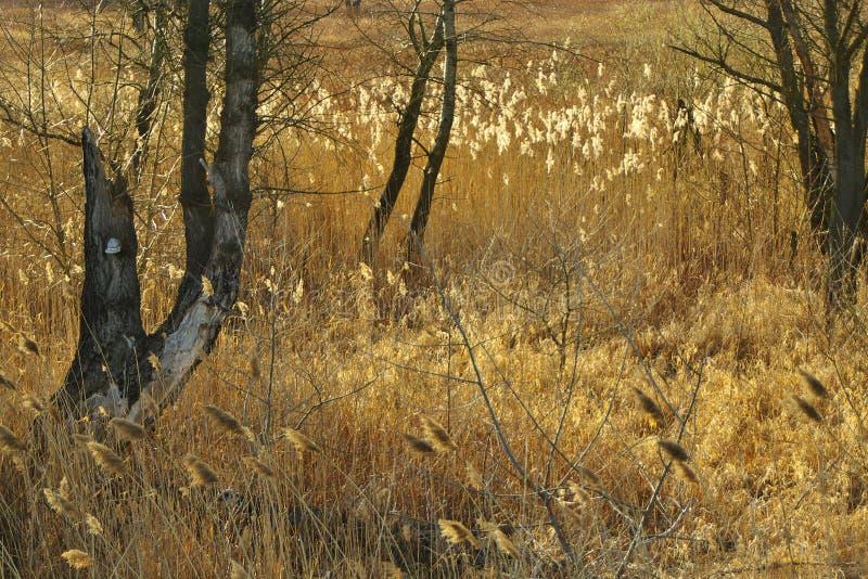 布朗纸莎草和树大树枝与polypore在日落 免版税库存图片