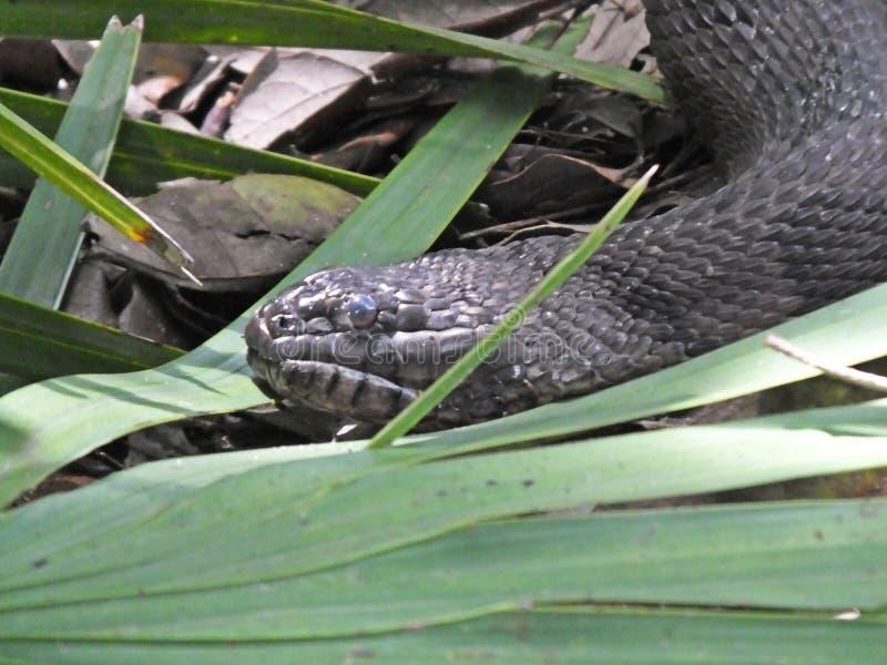 布朗结合了水蛇或Nerodia taxispilota 免版税库存图片