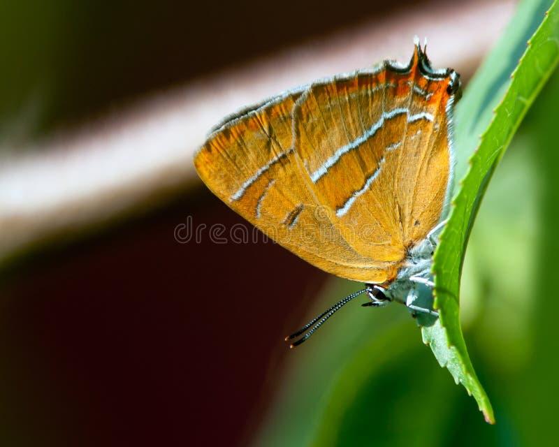 布朗翅上有细纹的蝶(Thecla betulae) 免版税库存照片