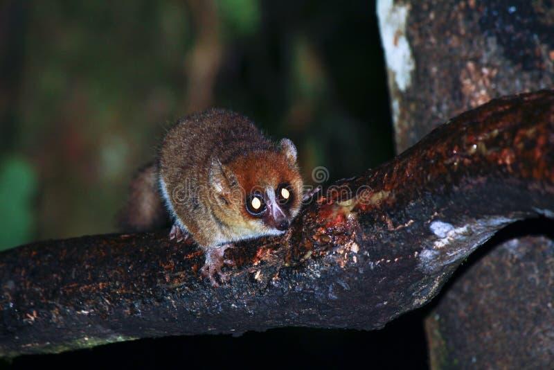 布朗老鼠狐猴(Microcebus rufus)在雨林里 图库摄影