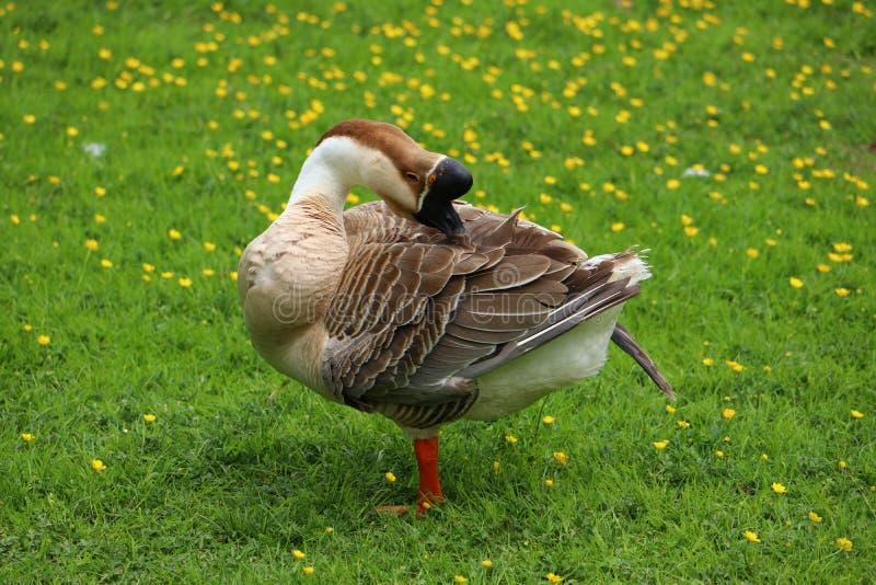布朗自夸在毛茛草甸的中国鹅 免版税库存图片