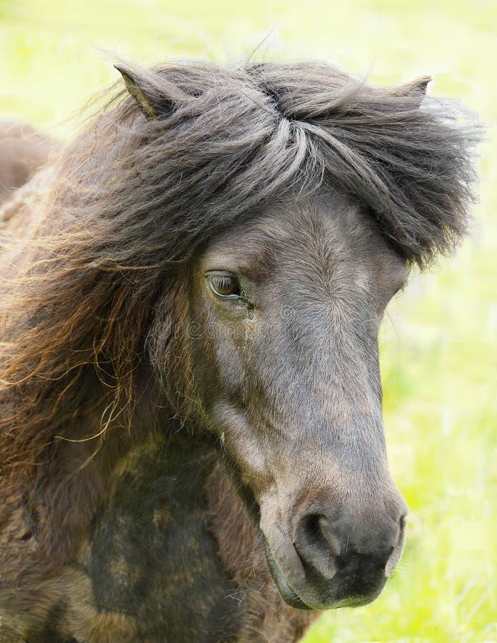 布朗舍特兰群岛小马的特写镜头画象在舍特兰群岛上的 库存图片
