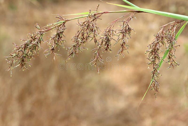 布朗草样式背景或墙纸 免版税图库摄影