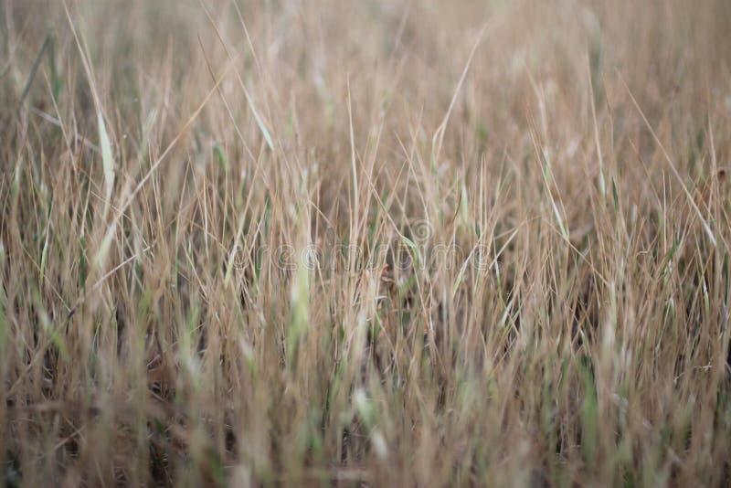 布朗草甸背景 草样式纹理背景 模糊的自然背景 在领域的干草叶子 图库摄影