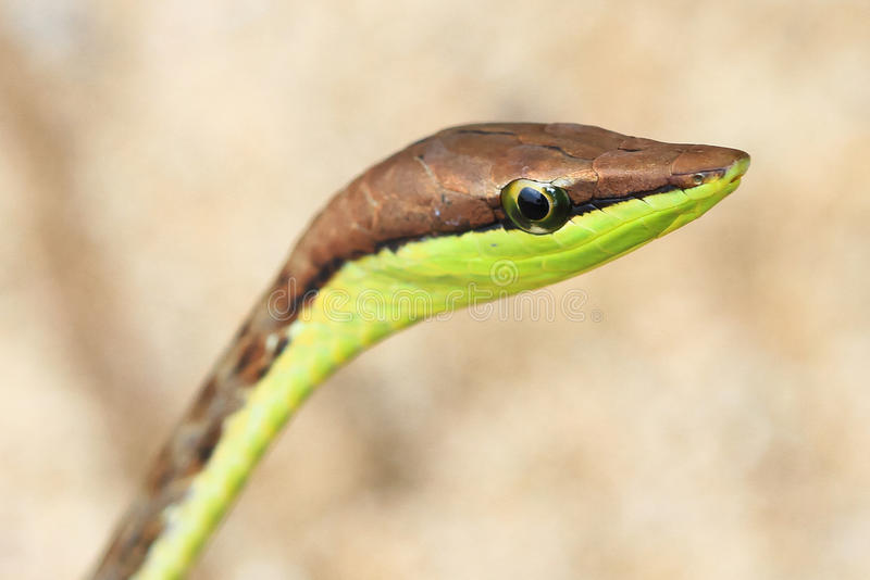 布朗藤蛇 库存照片