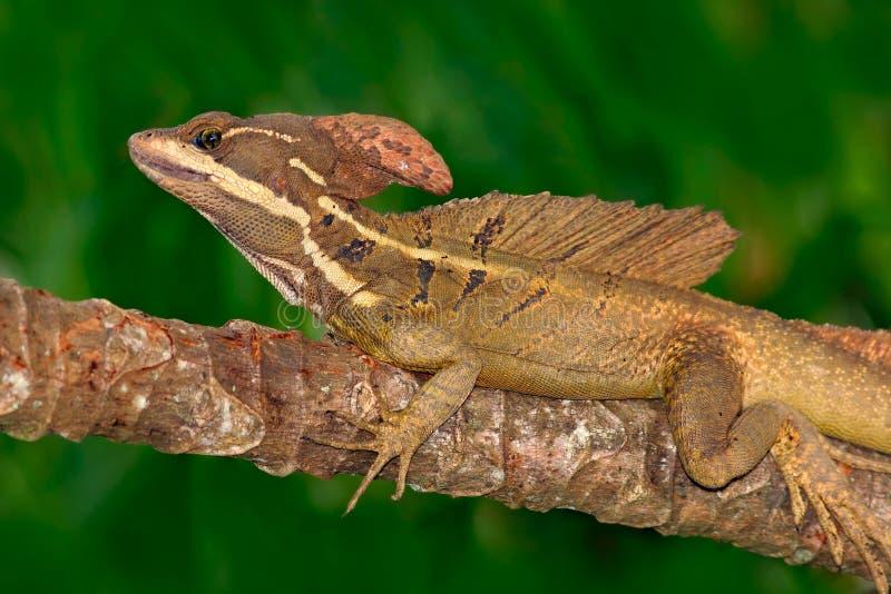 布朗蛇怪,蛇怪vittatus,在自然栖所 罕见的蜥蜴美丽的画象从哥斯达黎加的 在gre的蛇怪 免版税库存照片