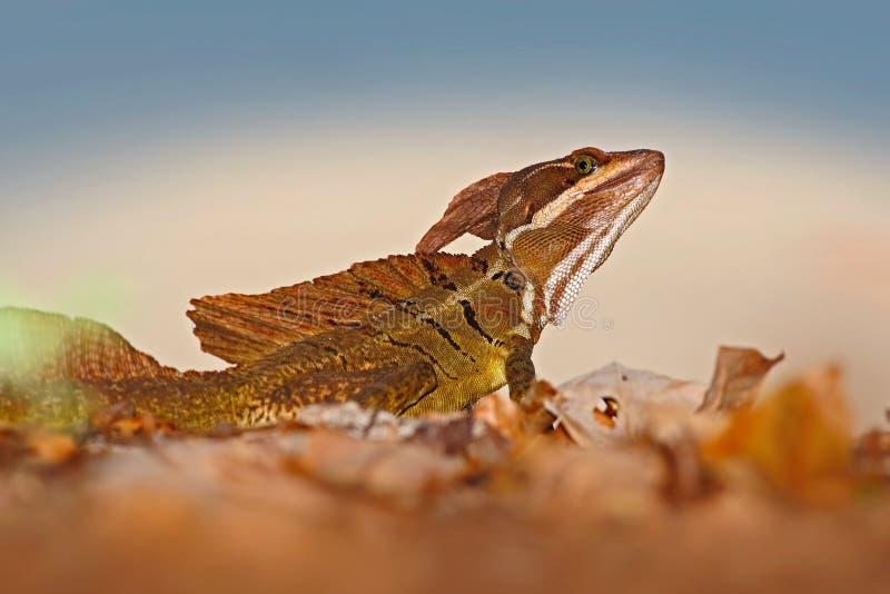 布朗蛇怪,蛇怪vittatus,在自然栖所 罕见的蜥蜴美丽的画象从哥斯达黎加的 在gre的蛇怪 免版税库存图片
