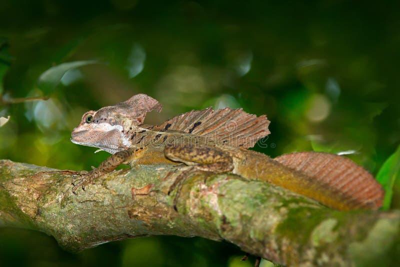 布朗蛇怪,蛇怪vittatus,在自然栖所 罕见的蜥蜴美丽的画象从哥斯达黎加的 在gre的蛇怪 库存照片