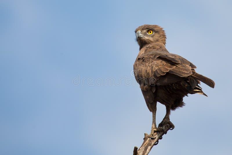 布朗蛇老鹰坐分支反对蓝天 免版税库存照片