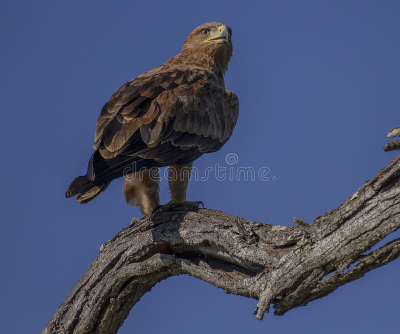 布朗蛇老鹰 免版税图库摄影