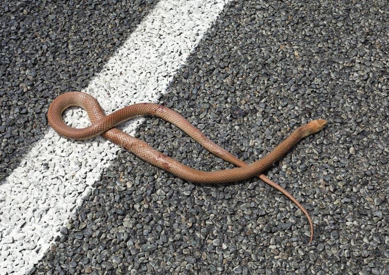 布朗蛇 免版税库存图片