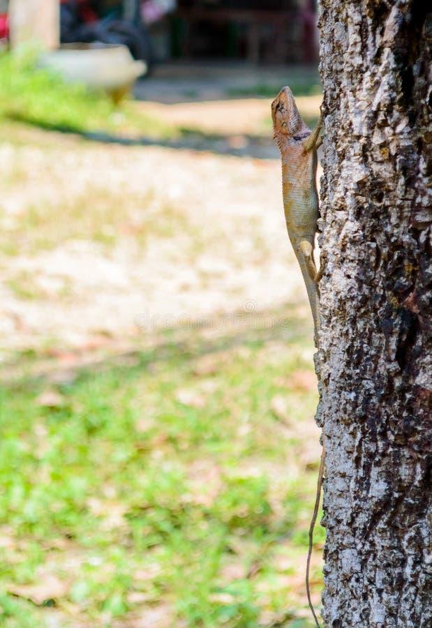布朗蜥蜴,树蜥蜴,蜥蜴皮肤细节在树黏附 库存图片
