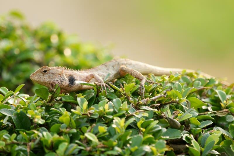 布朗蜥蜴,树蜥蜴,蜥蜴皮肤细节在树黏附 免版税库存照片