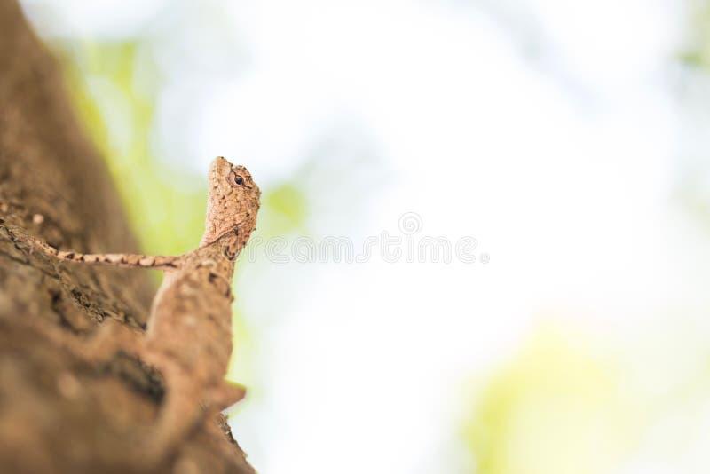 布朗蜥蜴,树蜥蜴 图库摄影
