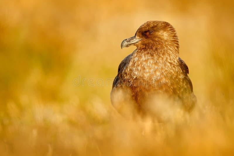 布朗贼鸥, Catharacta南极洲,坐在秋天草的水禽,平衡光,阿根廷 免版税库存图片
