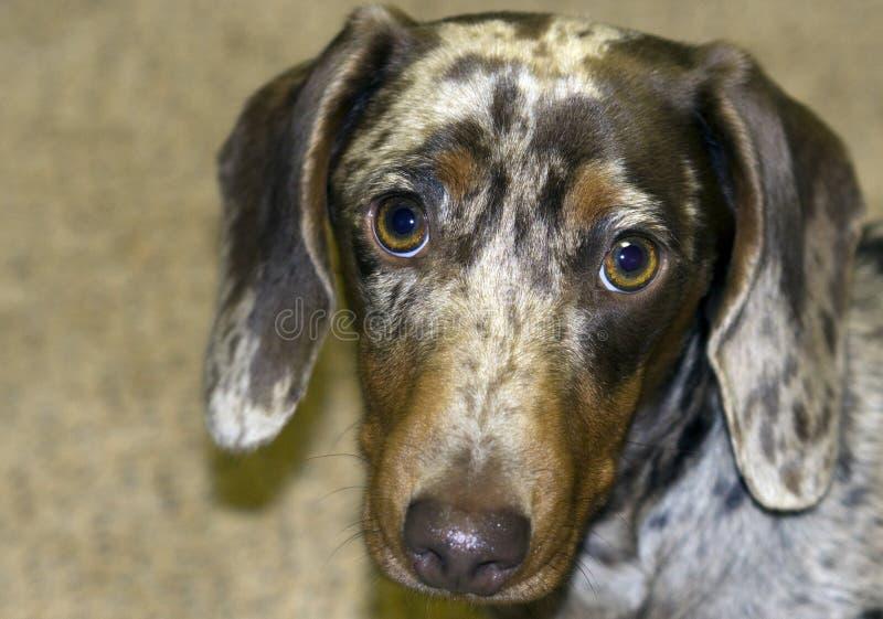 布朗起斑纹与浅褐色的眼睛的狗 免版税库存图片