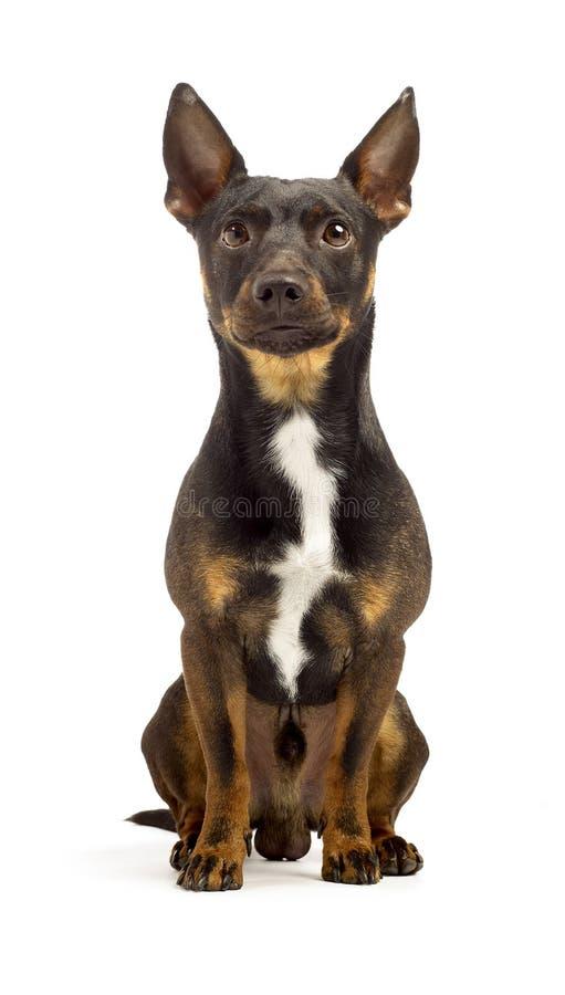 布朗起重器罗素狗乞求在照相机前面 免版税库存图片