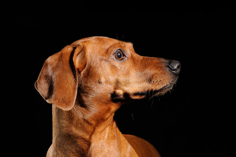 布朗达克斯猎犬狗 库存照片