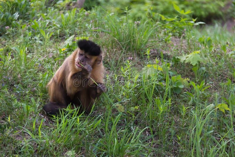 布朗连斗帽女大衣猴子, Cabus apella 库存图片
