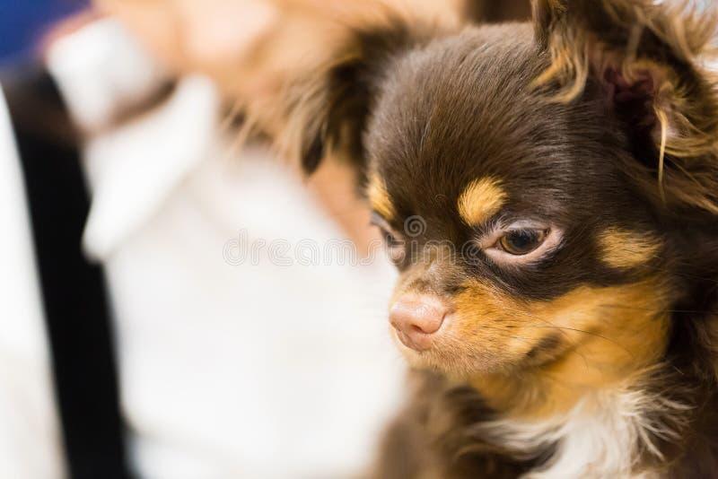 布朗逗人喜爱的小狗画象 库存图片