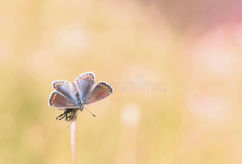 布朗阿格斯蝴蝶 免版税库存图片