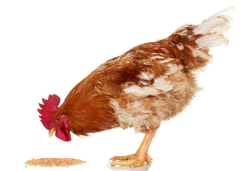 布朗雄鸡吃在白色背景,被隔绝的对象,活鸡,一个特写镜头牲口的谷粒 库存照片