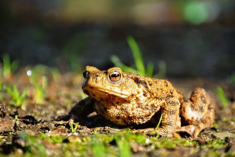 布朗青蛙特写镜头在夏天 免版税库存图片
