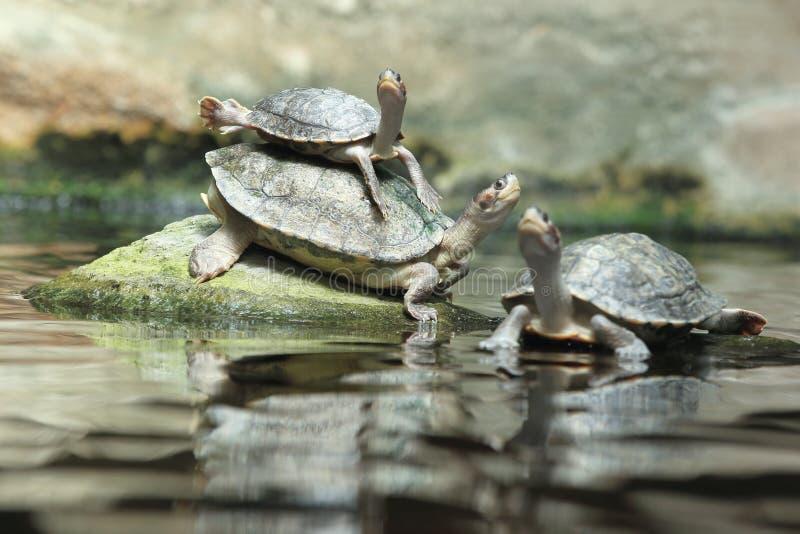 布朗顶房顶了乌龟 库存图片