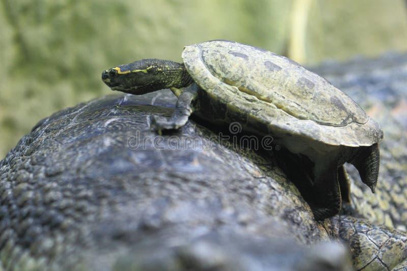 布朗顶房顶了乌龟 库存照片