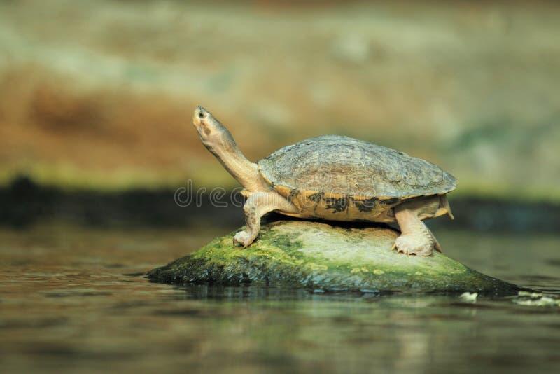 布朗顶房顶了乌龟 免版税库存图片