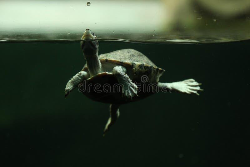 布朗顶房顶了乌龟(Pangshura smithii) 免版税库存图片