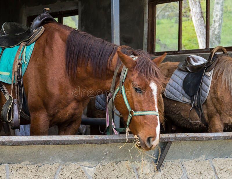 布朗马在休息和吃干草的摊位 库存照片
