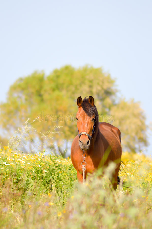 布朗马在草甸 免版税库存照片