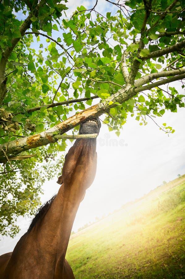 布朗马舒展对在树的一个分支 库存照片