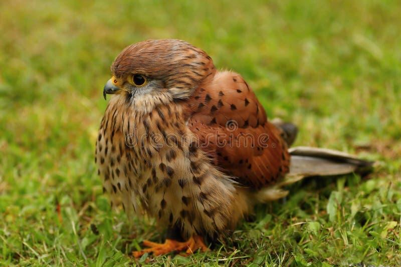 布朗鸟 免版税库存图片