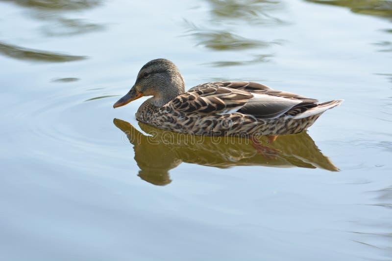 布朗鸭子游泳 免版税图库摄影