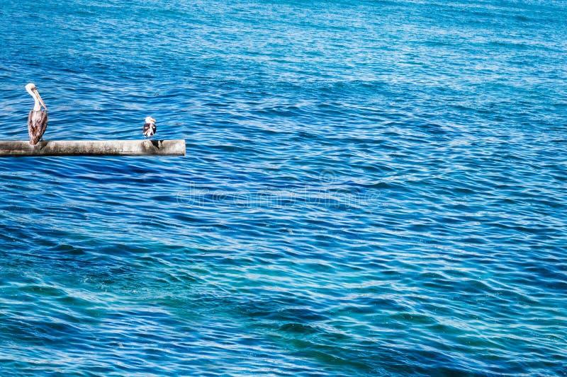 布朗鹈鹕和海鸥在杆 免版税库存照片
