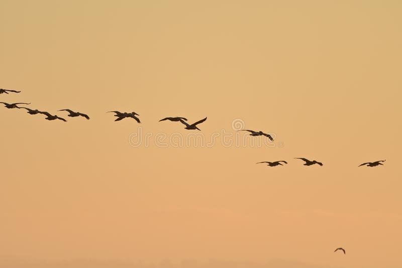 布朗鹈鹕群在天空的 免版税库存图片