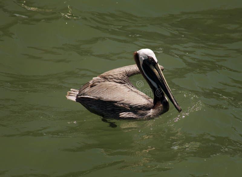 布朗鹈鹕 佛罗里达,威尼斯,萨拉索塔,南跳船,墨西哥湾 图库摄影
