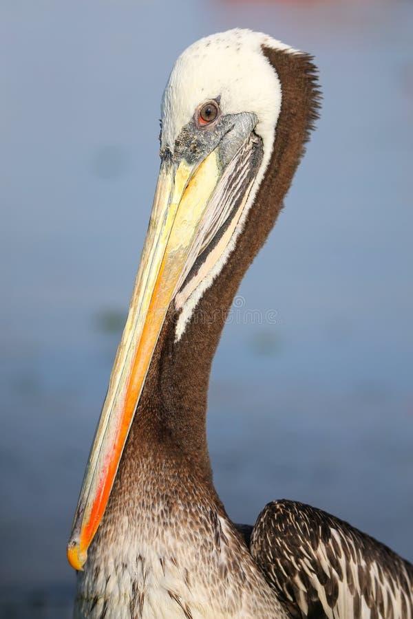 布朗鹈鹕画象在Paracas海湾,秘鲁的 免版税库存照片