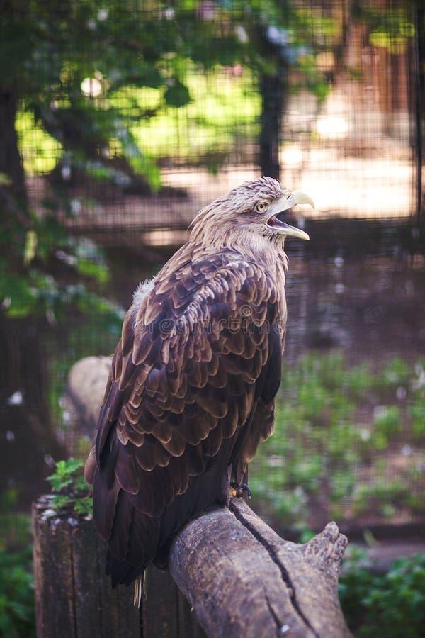 布朗鹰坐一棵树在动物园里 免版税库存照片