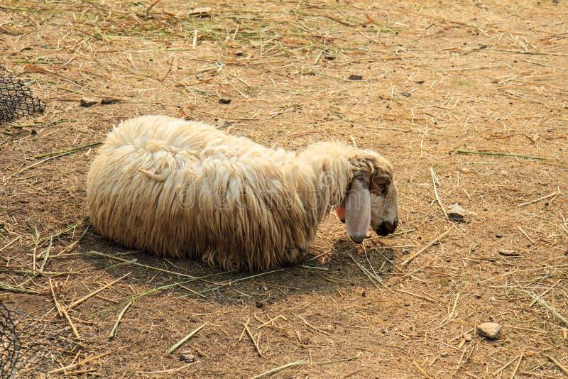 布朗绵羊 免版税库存图片