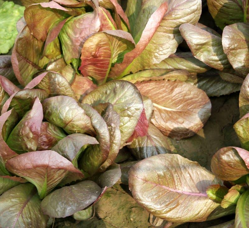 布朗莴苣,棕色crisphead莴苣 免版税库存图片