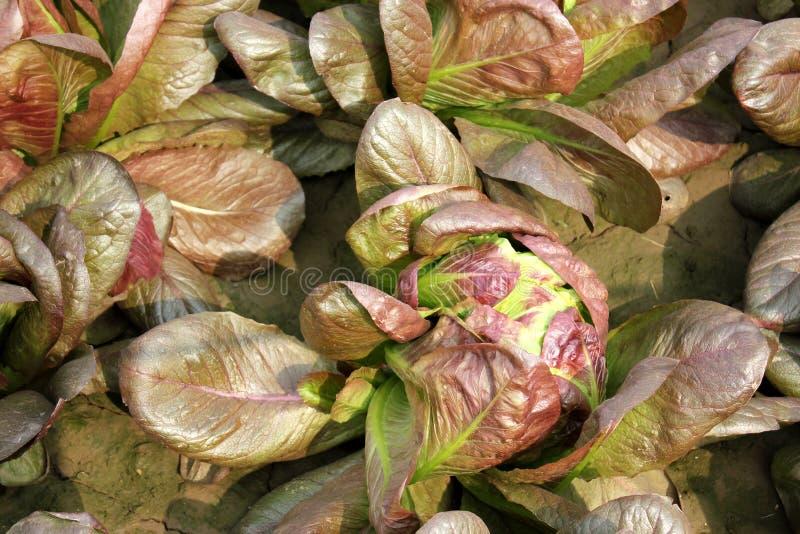 布朗莴苣,棕色crisphead莴苣 免版税图库摄影