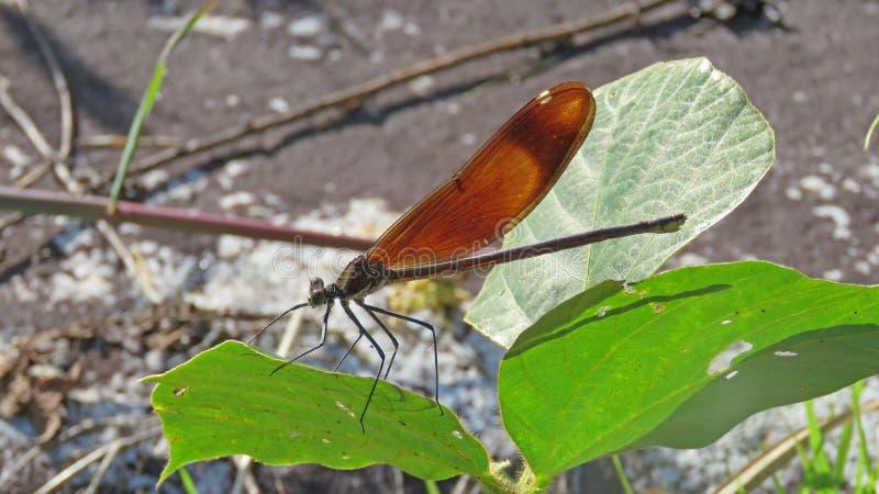 布朗蜻蜓在日本 免版税库存图片