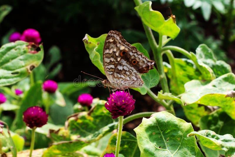 布朗蝴蝶和桃红色花ingarden 免版税库存图片