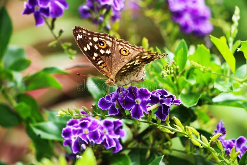 布朗蝴蝶和紫色花在庭院里 免版税图库摄影
