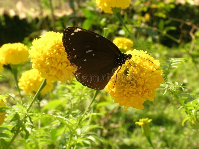 布朗蝴蝶和黄色花 免版税库存照片